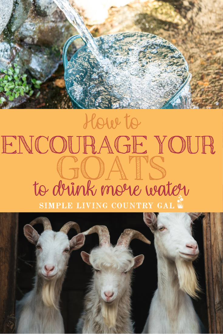 Nothing keeps a goat herd healthier than freshwater. But sometimes getting your backyard goats to drink is easier said than done. Use these tips to encourage your goats to drink more water. #goatcare #backyardgoats #goatswater #goathealth