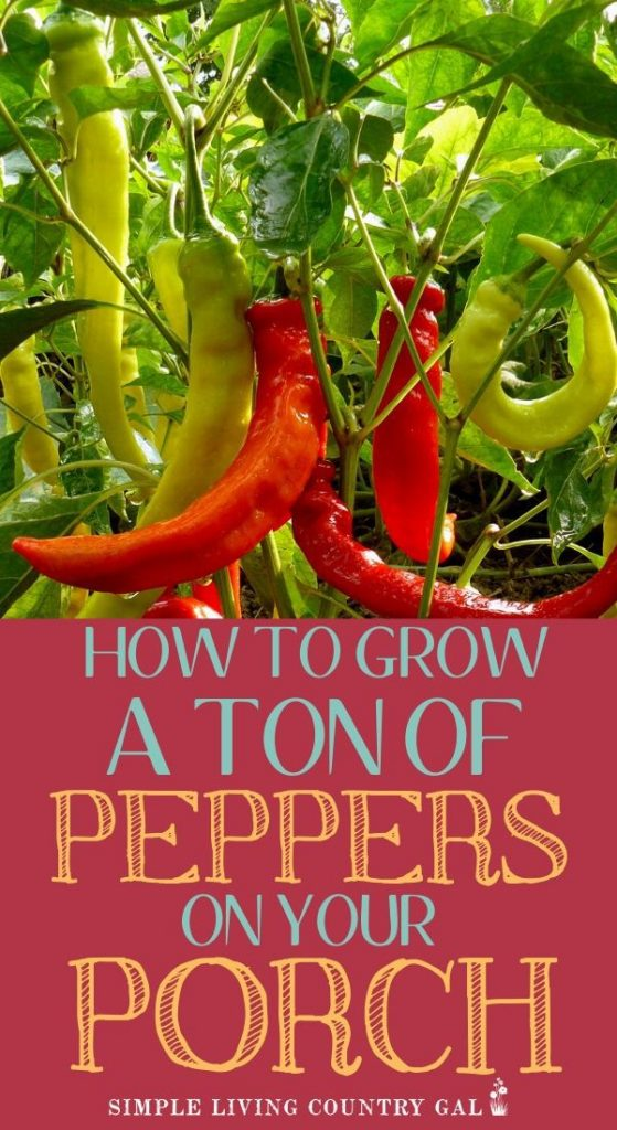 how to grow huge peppers in containers. How to grow a ton of peppers on a porch or patio garden. How to grow a ton of peppers. step by step guide on how to grow peppers in containers so you can have a garden. Tips on how to start your very own patio garden. #patiogarden #peppersincontainers #containergardening