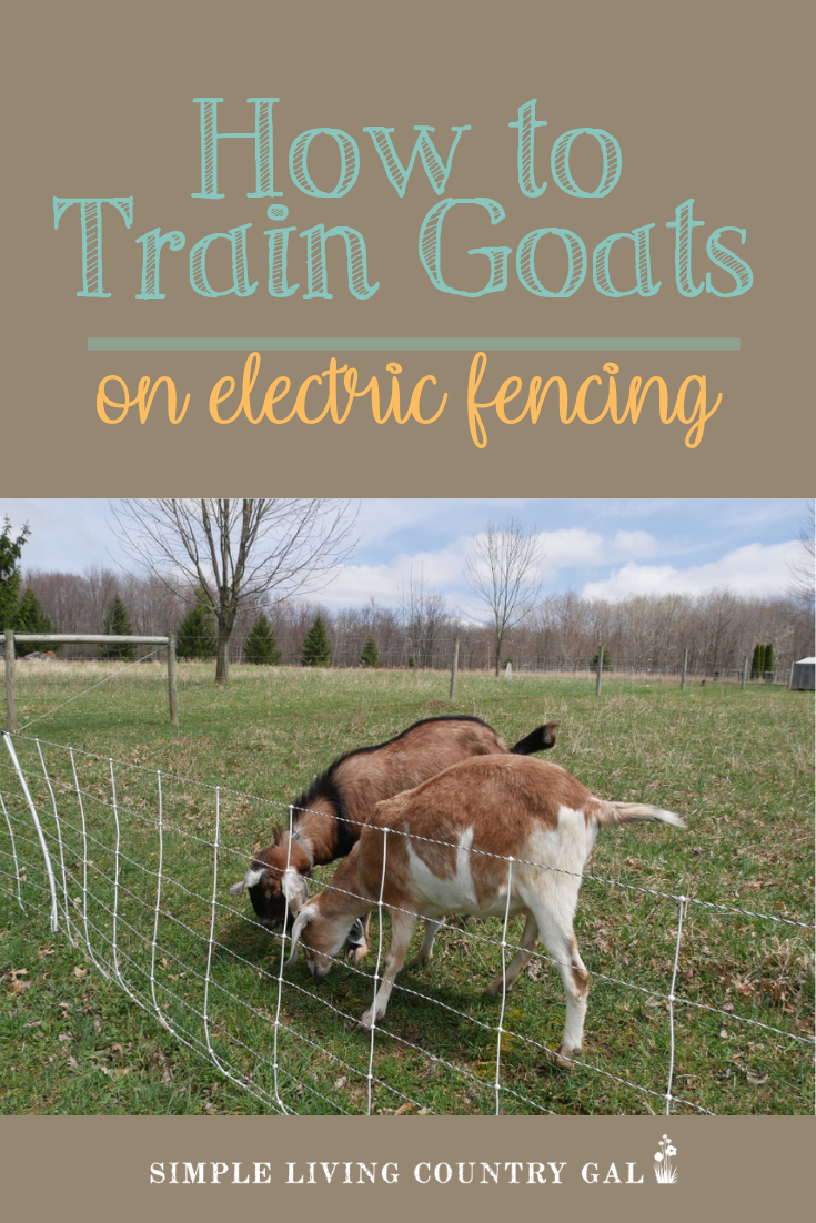 Before you bring your goats home for the first time be sure to have a good fence in place. This is important to not only keep your goats safely inside but to also keep predators out. Once you have a fence in place the next step is to train your goats to respect the fence. Follow these tips to train your entire herd on electric fencing. #goats #goatfencing #raisinggoats