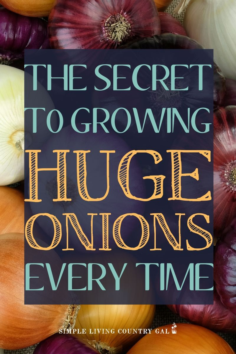 the secret to growing huge onions every time