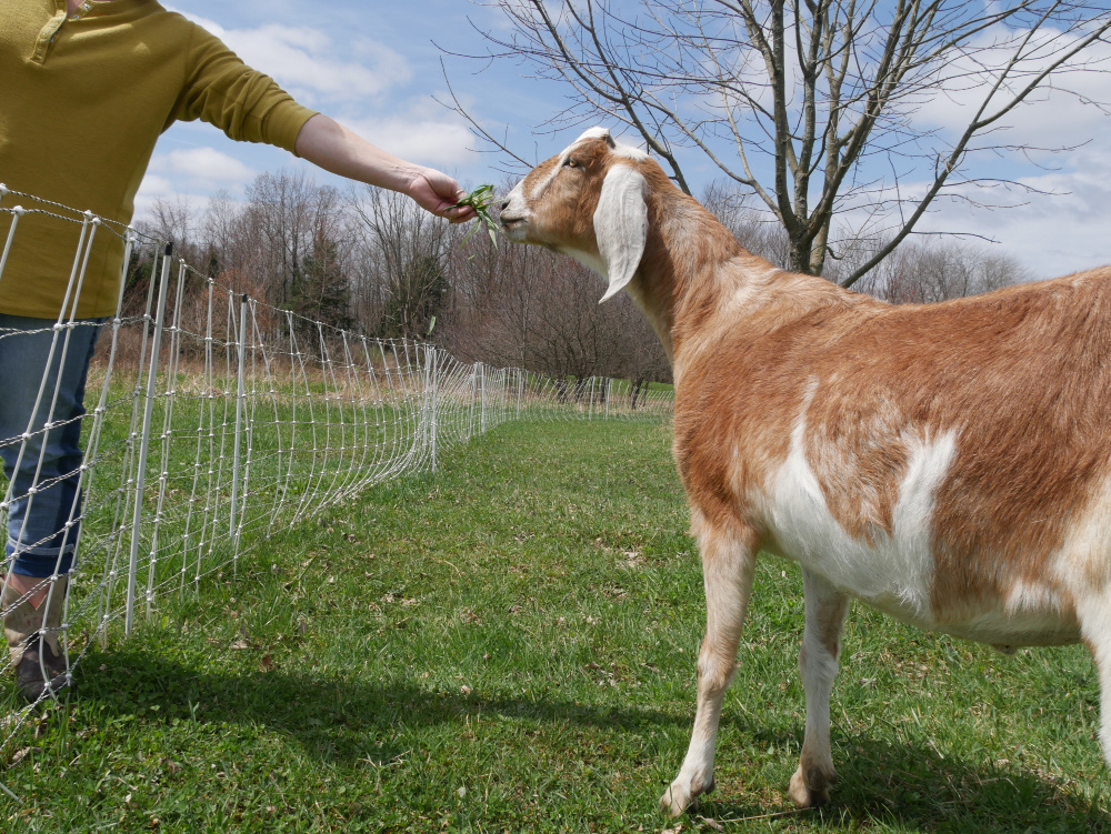 feeding a goat. Train goats on electric fence