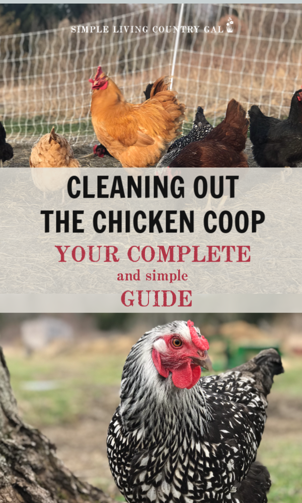 Cleaning out the chicken coop in the spring is one of those chores that need to be done correctly. Clean coops mean clean eggs and healthy chickens. Get the steps you need to clean your coop in the spring, summer, and fall. #chickens #backyardchickens #raisingchickens