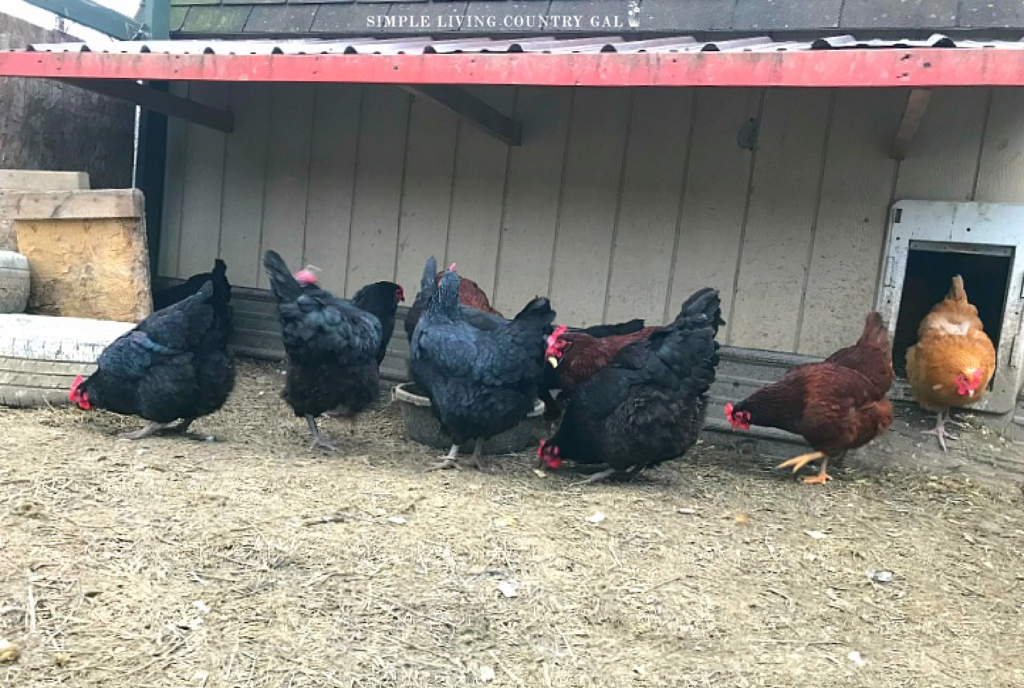 chickens under a roof in a coop