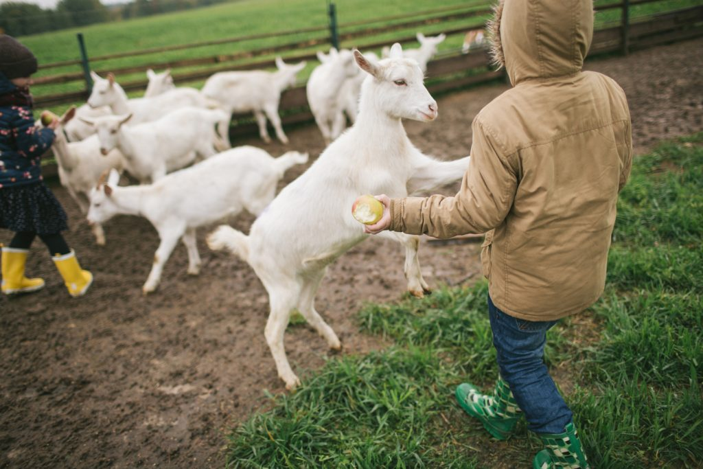 child with goats. How to have more people friendly goats