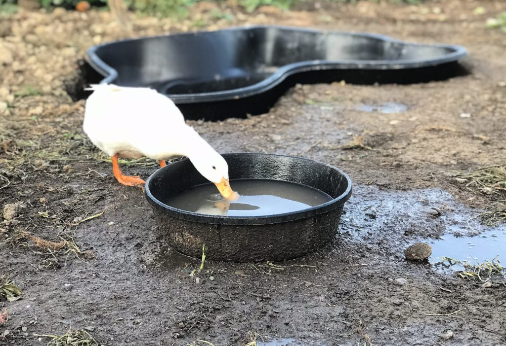 a duck in water. How to find trusted help for your homestead. How to vacation when you farm.