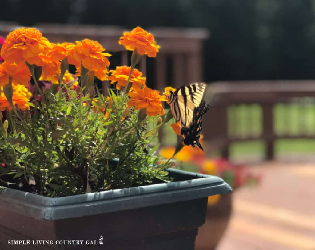 A butterfly rests on orange flowers. You can take vacations when you own a farm.