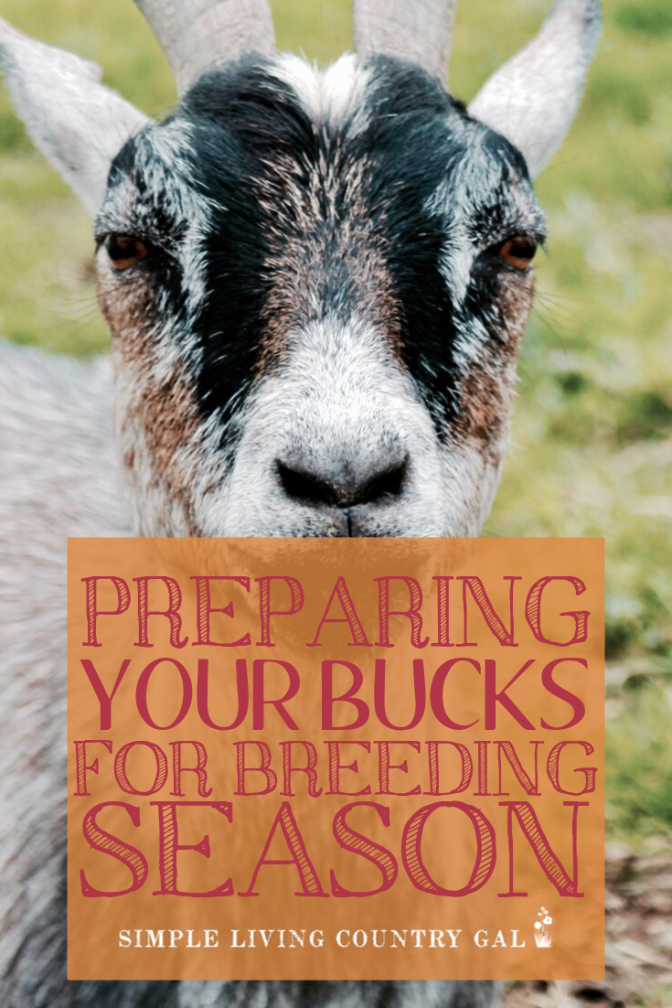 Steps you can take to prepare your bucks for a successful breeding season.