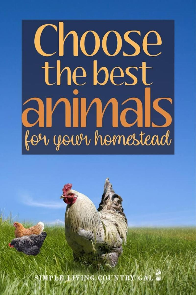 When you are first starting out, homesteading can be so overwhelming. From what to grow in your garden to what animals to raise. Knowing the choices that are out there will help you to better choose the best fit for you and your family. #homesteadanimals #farmanimals #modernhomesteading #urbanhomesteading
