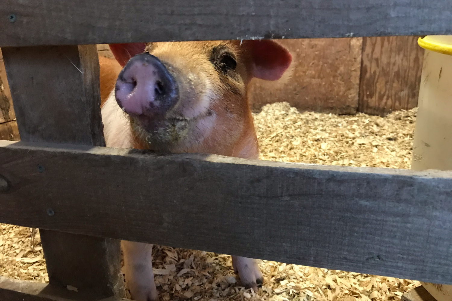 a homestead pig in a pen