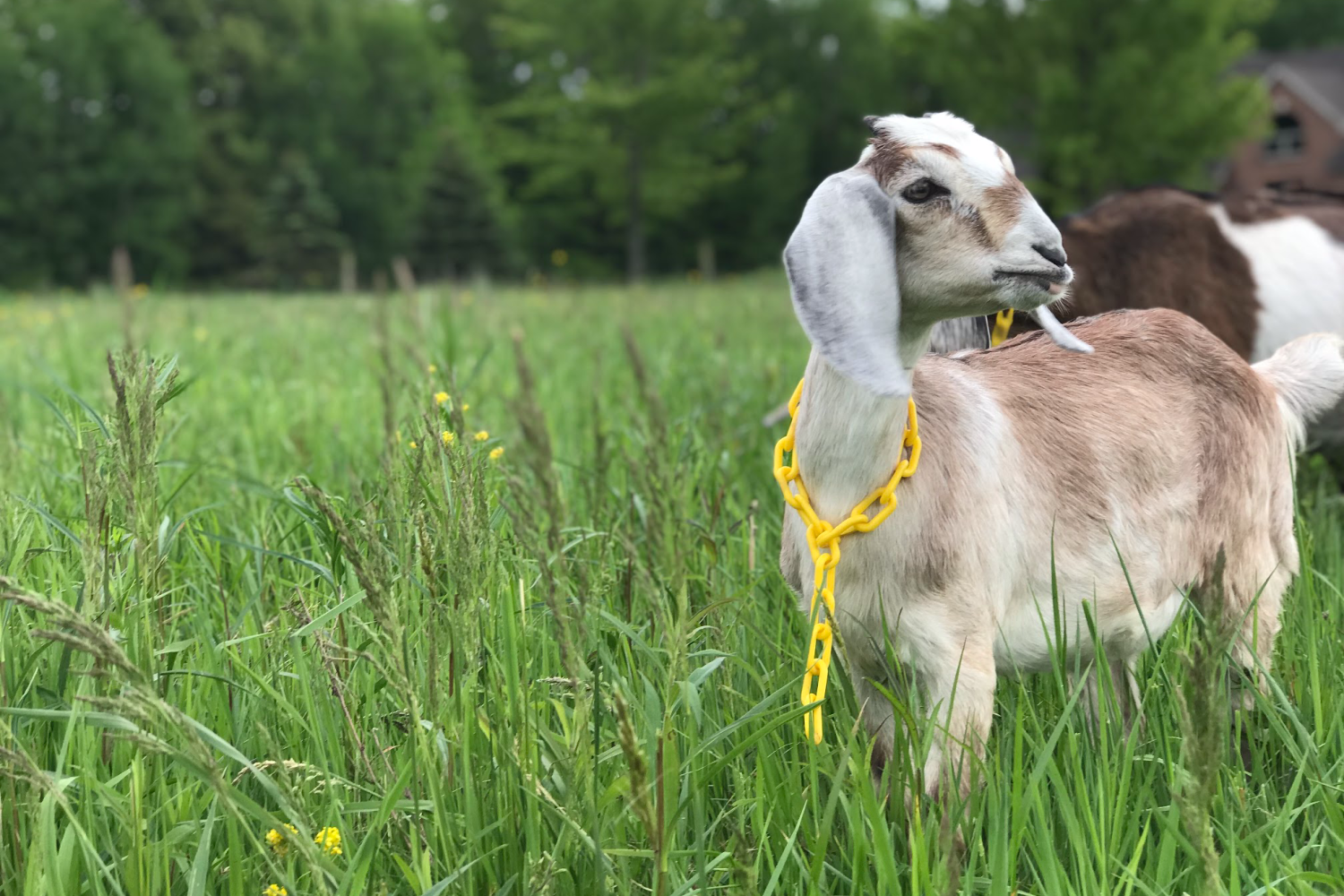 young goat in a pasture. Choosing the best homestead animals for your farm