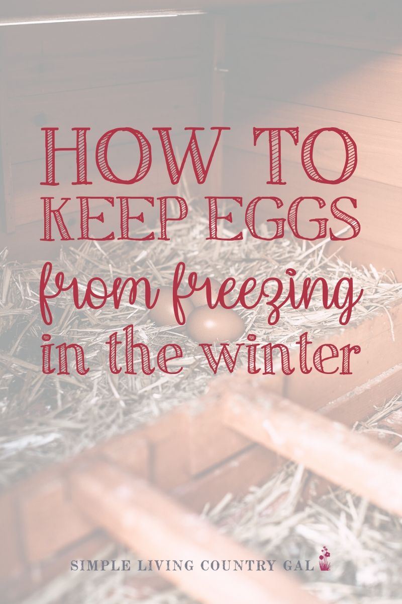 If you are new to raising backyard chickens winter might have you a bit worried. Here are a few tips you can use to help make sure they don't. Prep your chicken coop for the winter and keep eggs from freezing. Then know what you can do with frozen chicken eggs so you are not wasting them. #chickeneggs. #chickens #backyardchickens #homestead