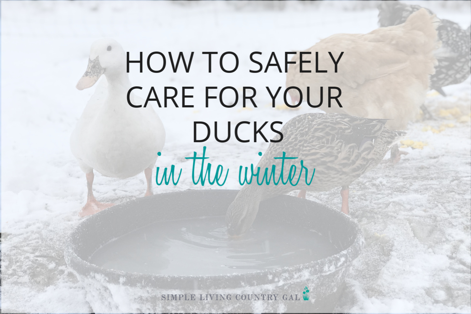 Winter Duck Care – How to Raise Healthy Ducks in the Winter