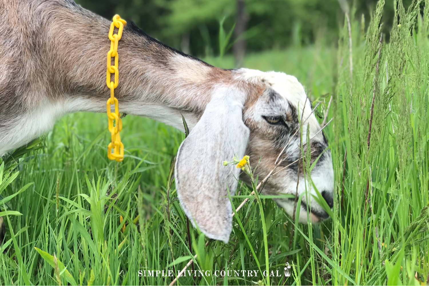 goat grazing in a pasture