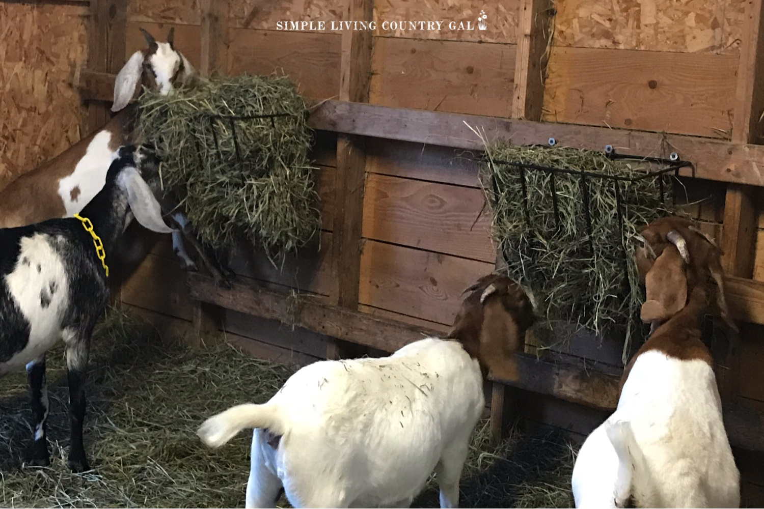 goats eating second cut hay from a hay feeder