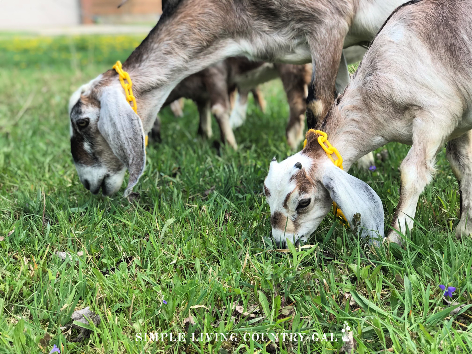 goats grazing in a pasture on a homestead