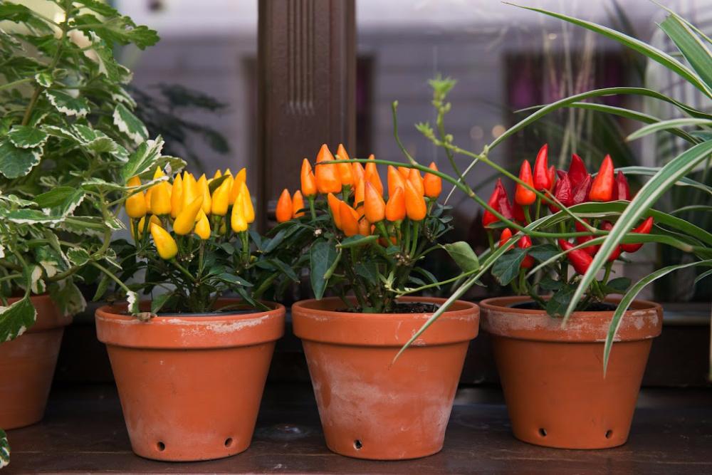 peppers growing in urban gardening