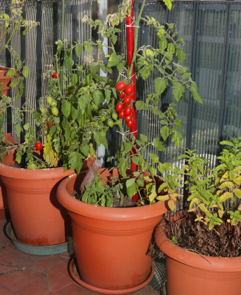 tomatoes growing on a porch container garden