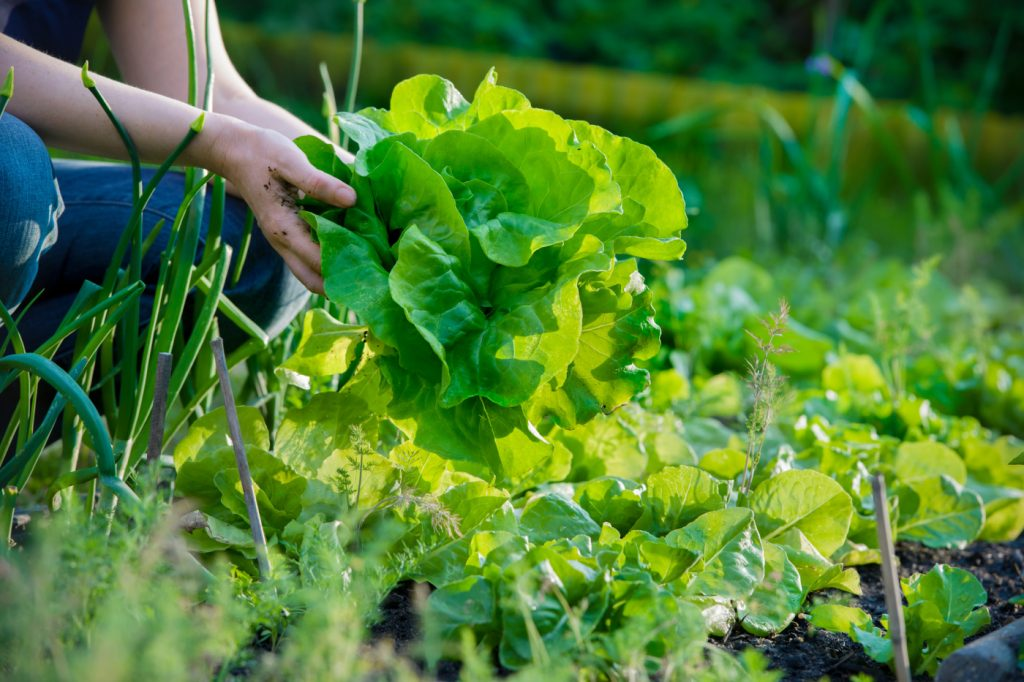 woman picking fresh lettuce from her garden