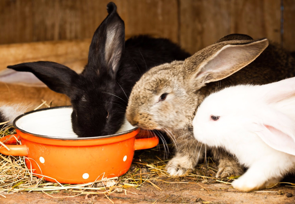 rabbits eating. How to raise rabbits for beginners