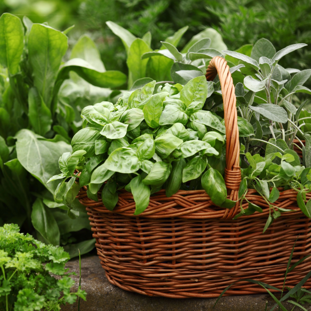 basket of herbs from a garden