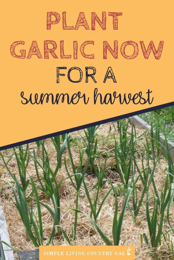 how to grow huge beautiful garlic every year