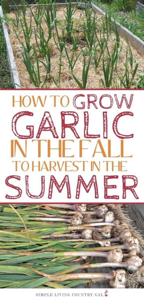 how to grow garlic in 10 easy steps