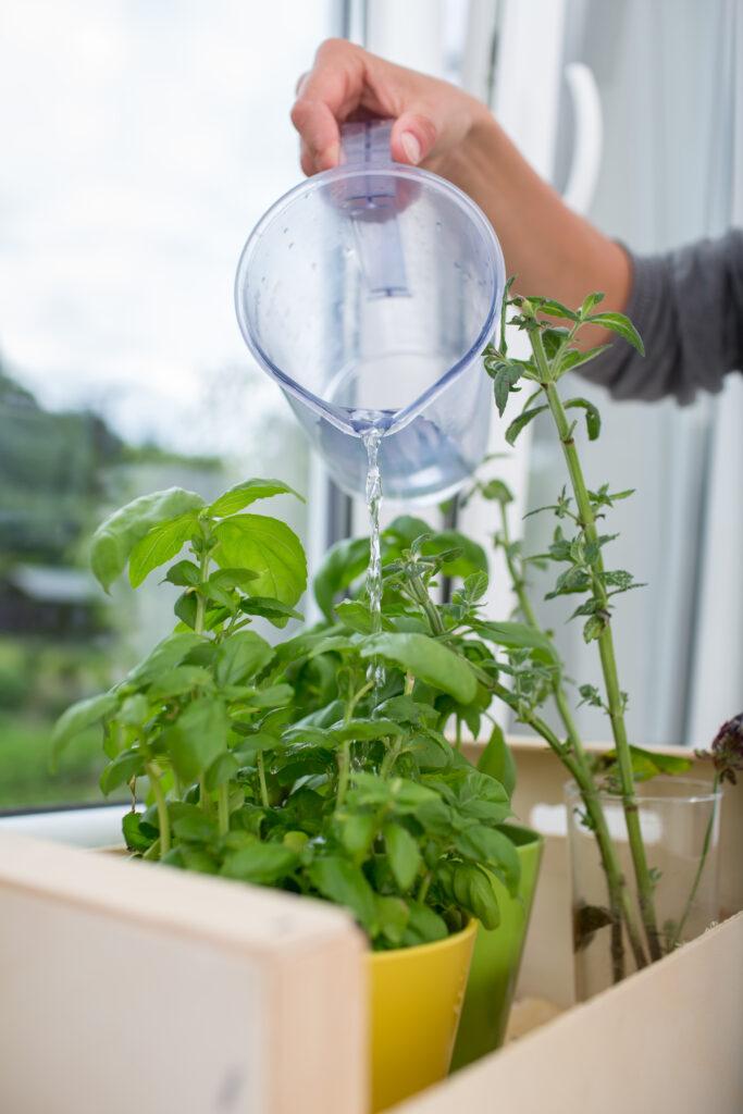 watering fresh basil in an herb garden