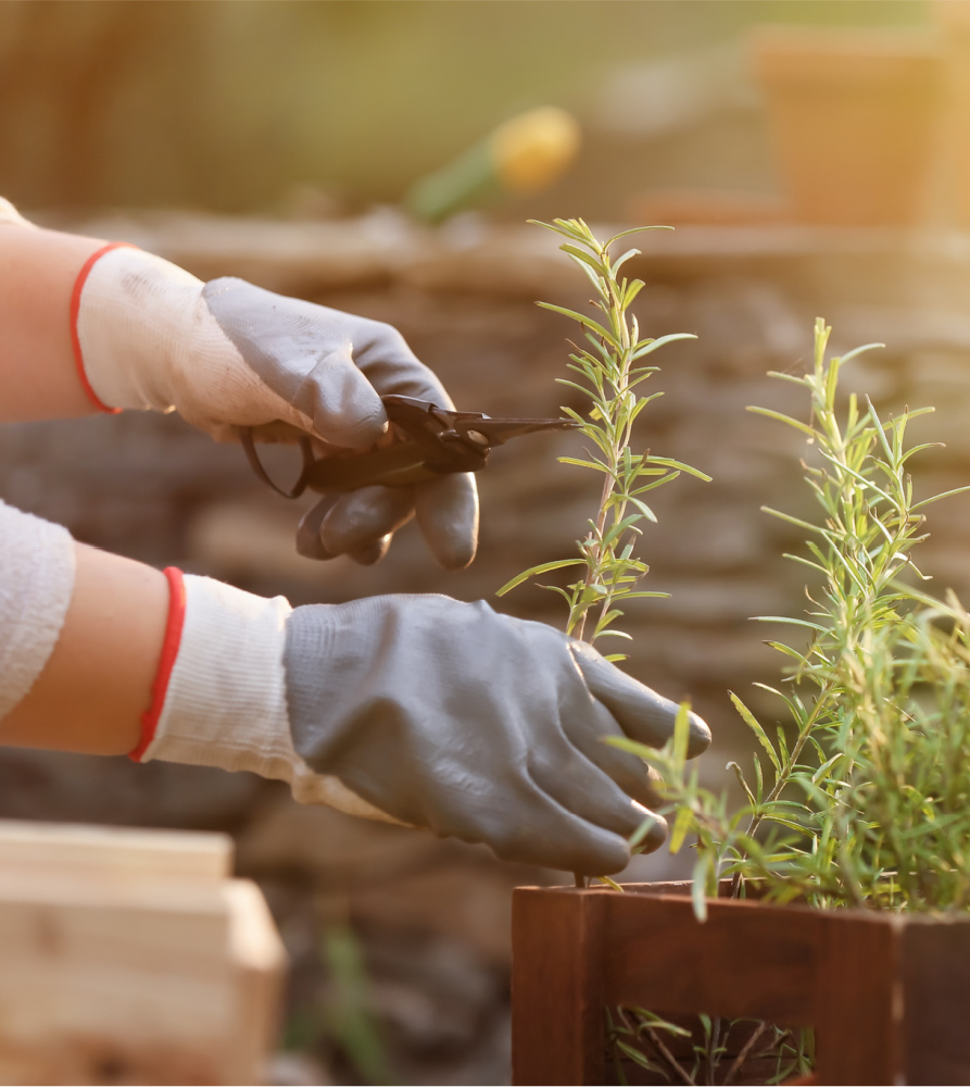 woman cutting rosemary in a gardento dry and preserve