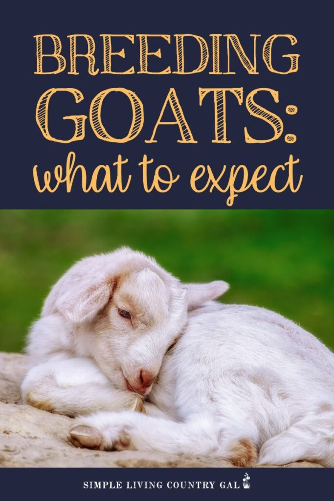 goat breeding tips