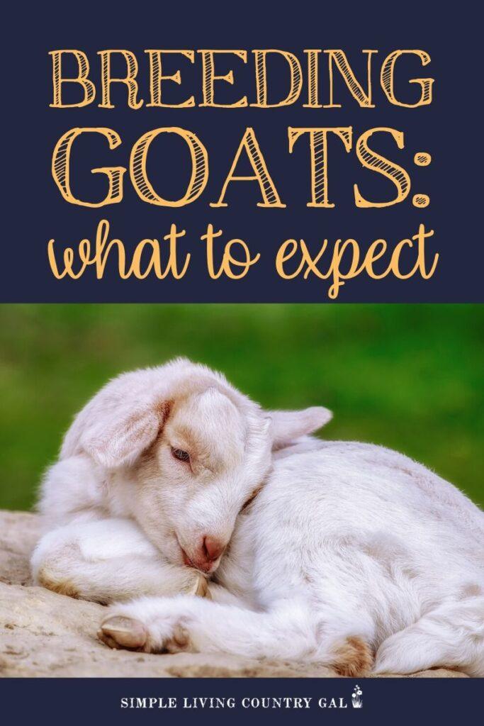 goat breeding tips