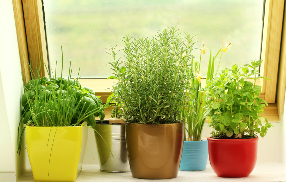 fresh herbs growing in pots