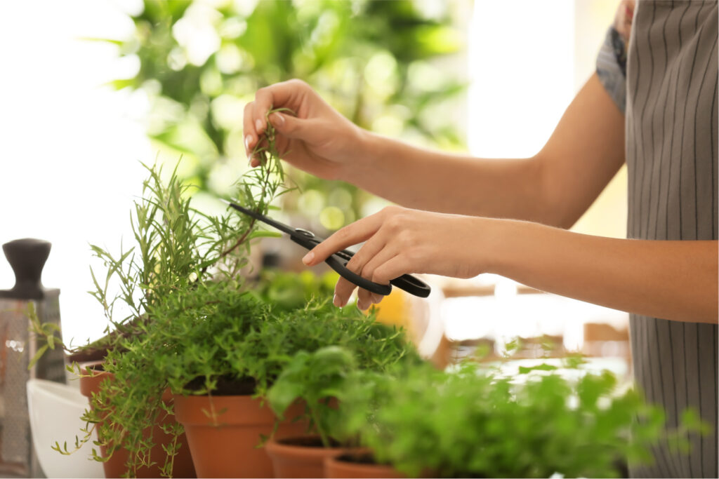 woman cutting fresh rosemary in the kitchen to dry
