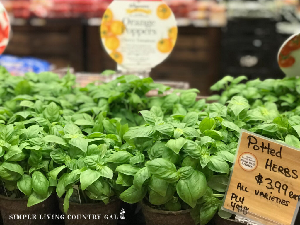 Basil plants in a grocery store