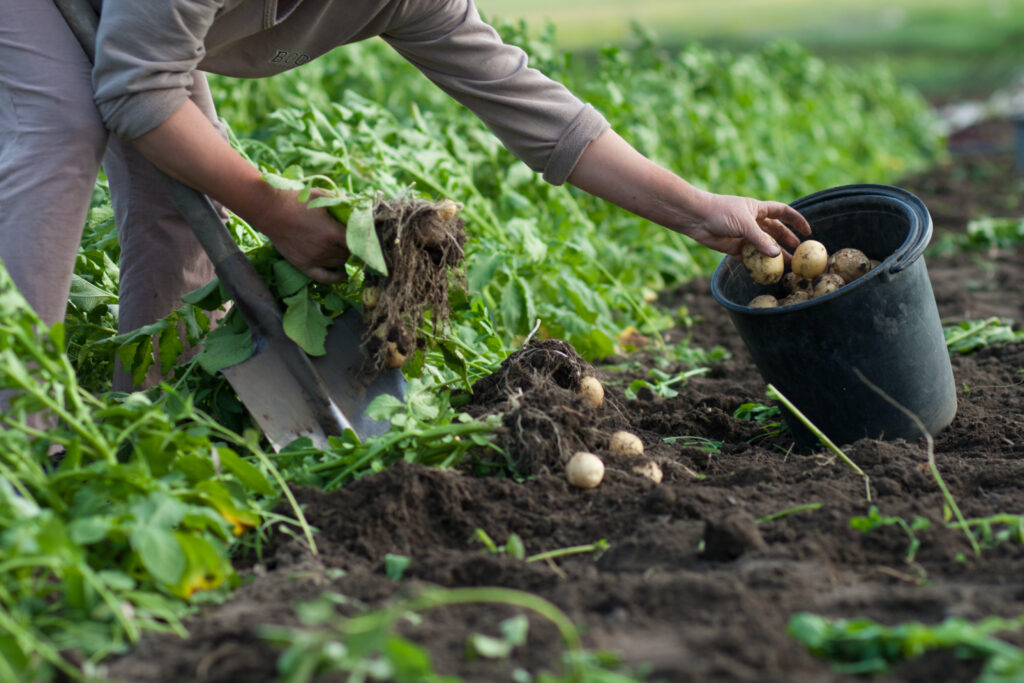 woman harvesting potatoes from a garden