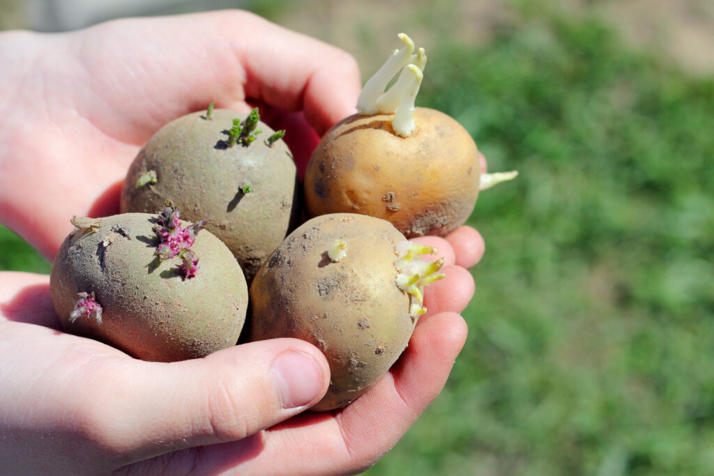 sprouted potatoes held in hand out in a garden-2