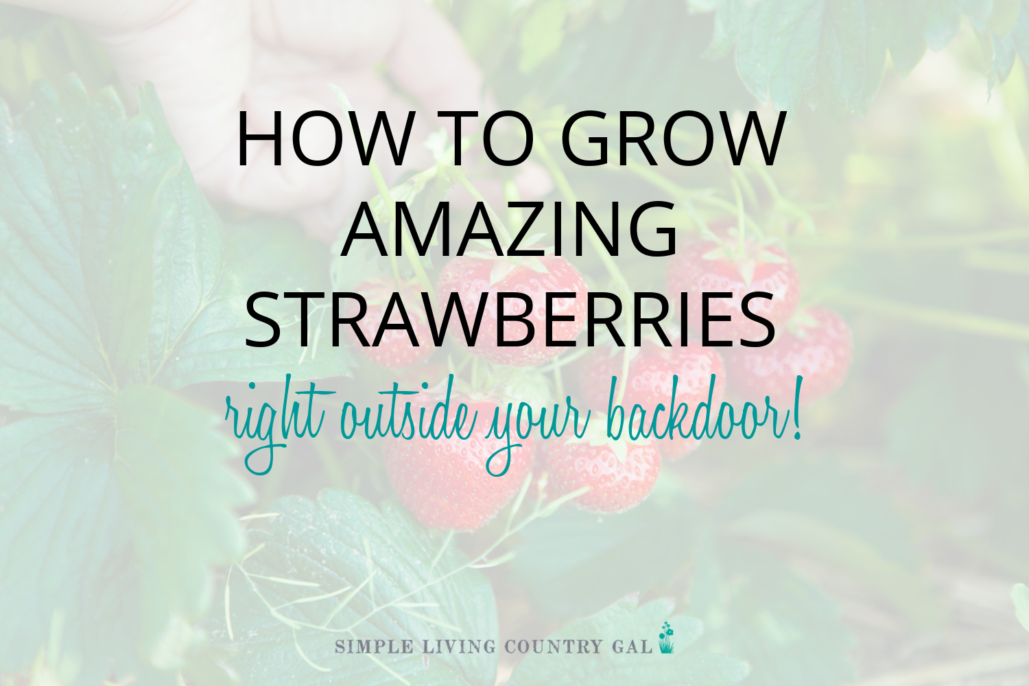 How to Grow Strawberries for Beginners