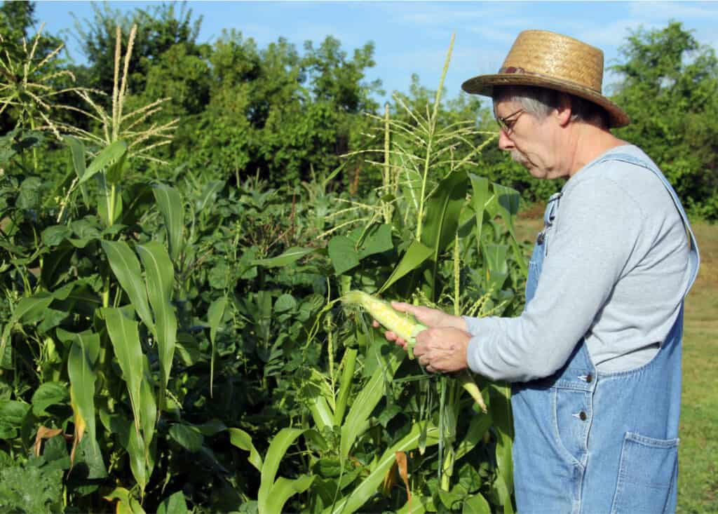 farmer in a straw hat checking his corn crop
