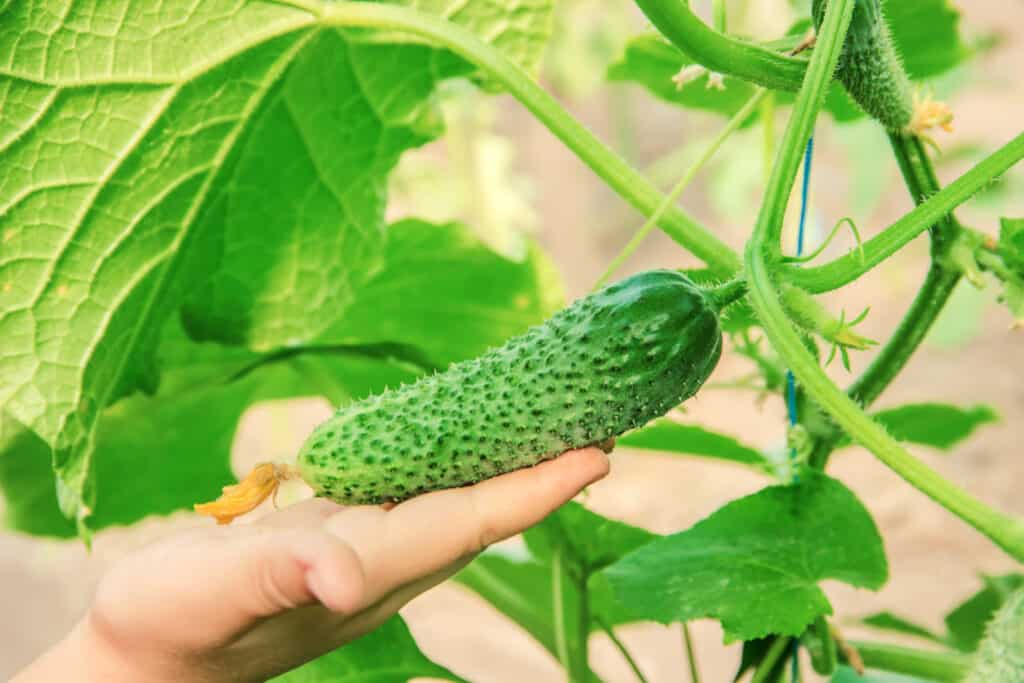 hand holding a cucumber on a vine in a garden. how to grow cucumbers for beginners