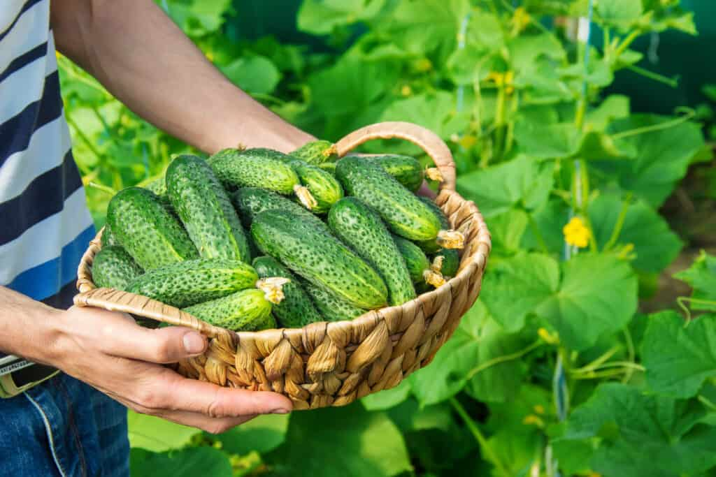 man holding a basket full of cucumbers in a basket