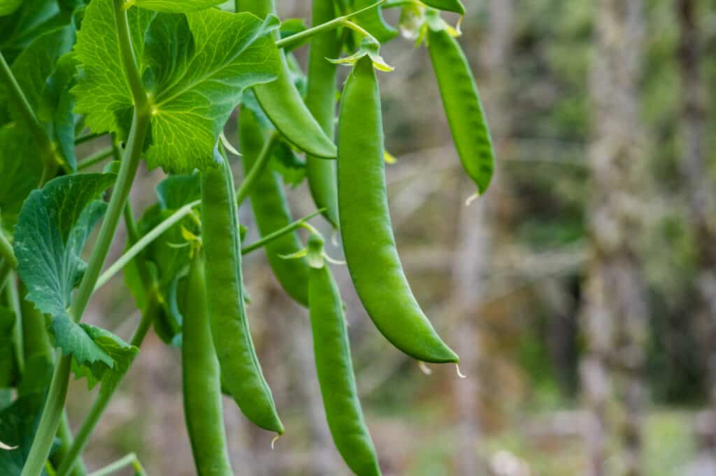How to grow peas for beginners