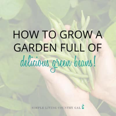 how to grow green beans for beginners