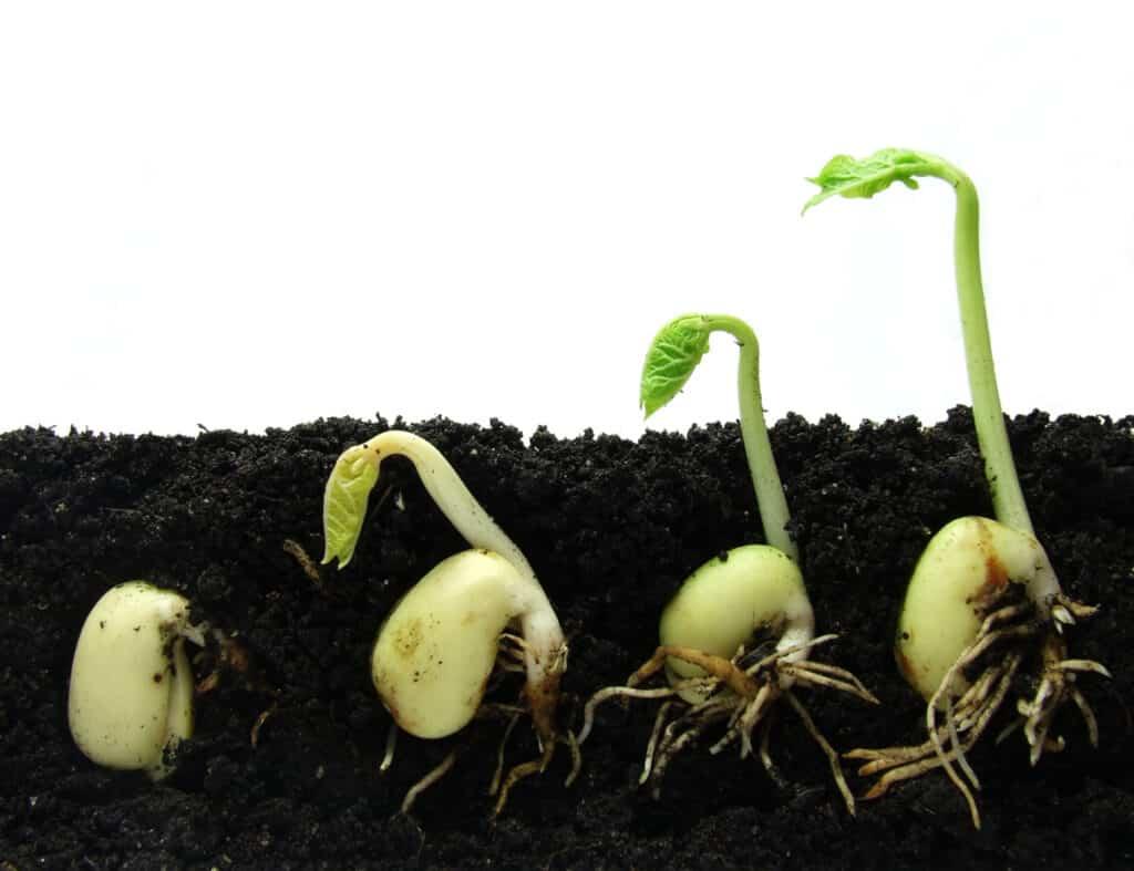 Beans seeds growing in soil