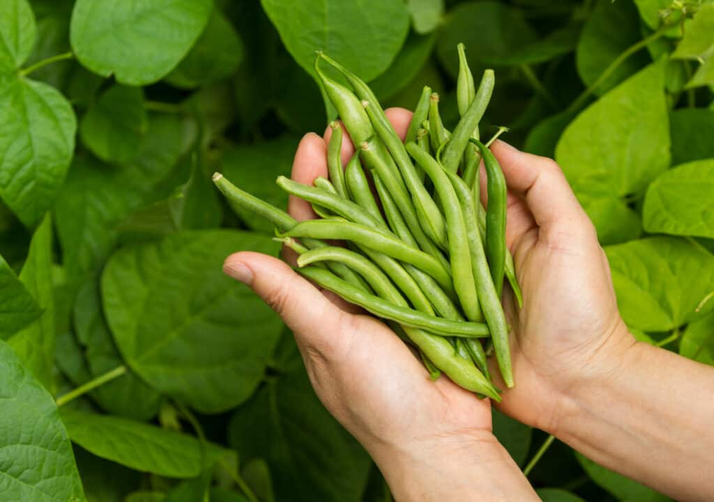 hands holding a bundle of green beans (1)