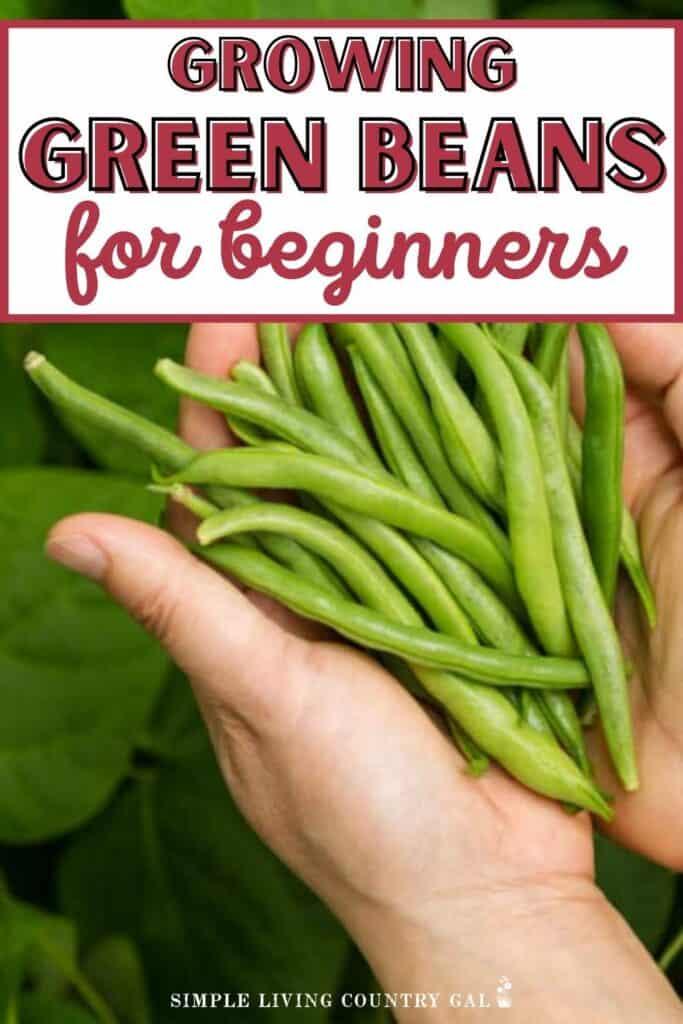 hands holding green beans from the garden