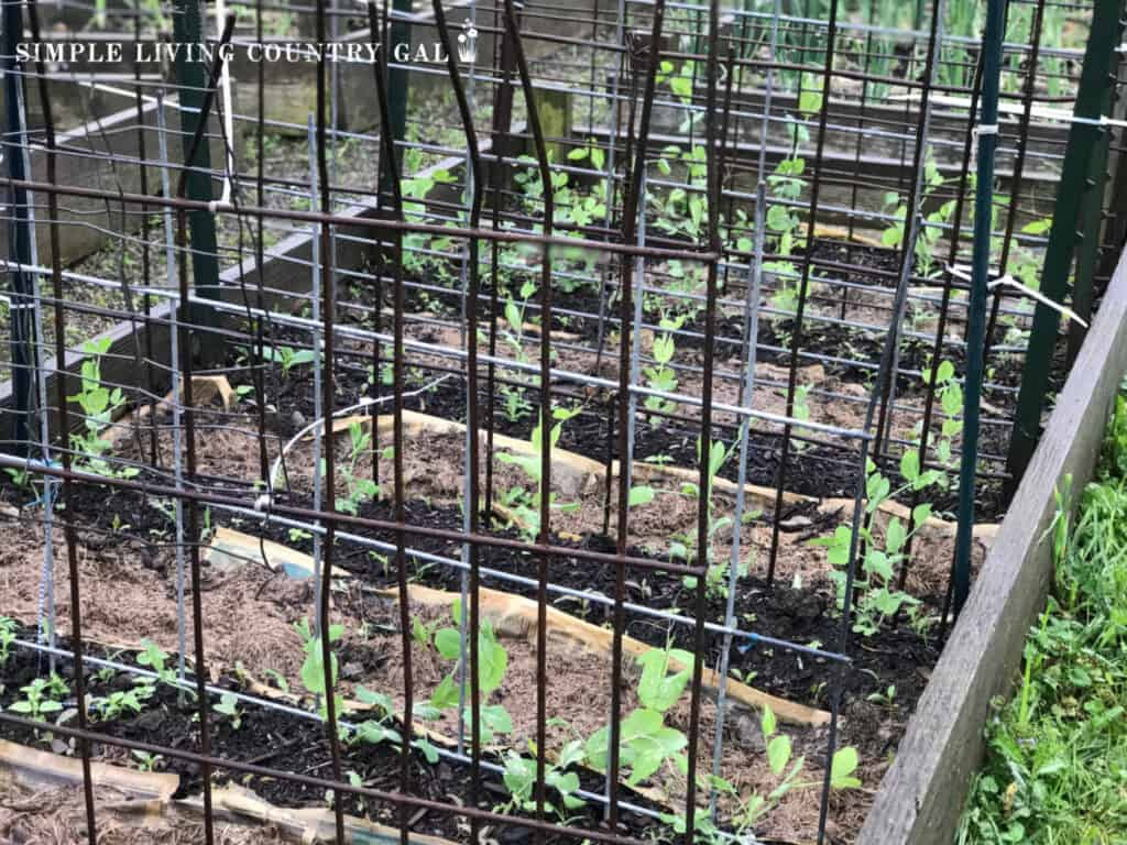 steal fence in a garden supporting peas