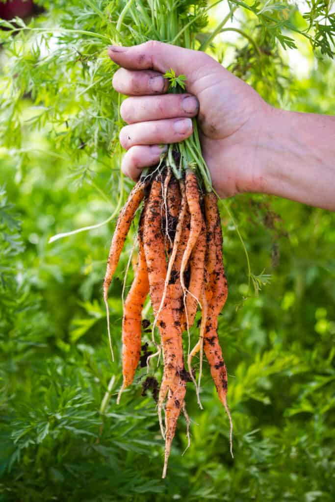 hands holding a bunch of freshly harvested carrots from a local home garden