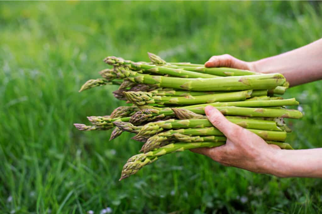 hands holding home grown asparagus