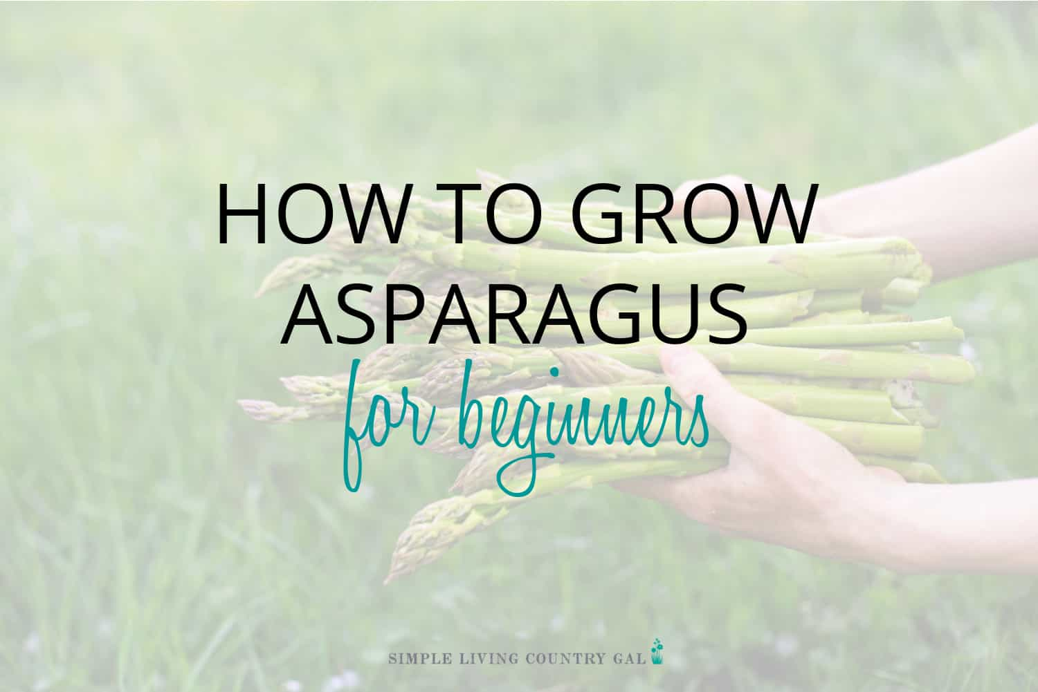 How to Grow Asparagus for Beginners