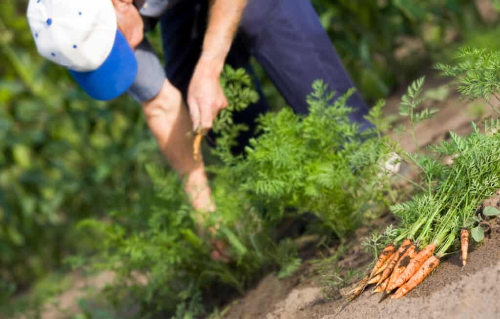 man picking carrots from his garden (1)