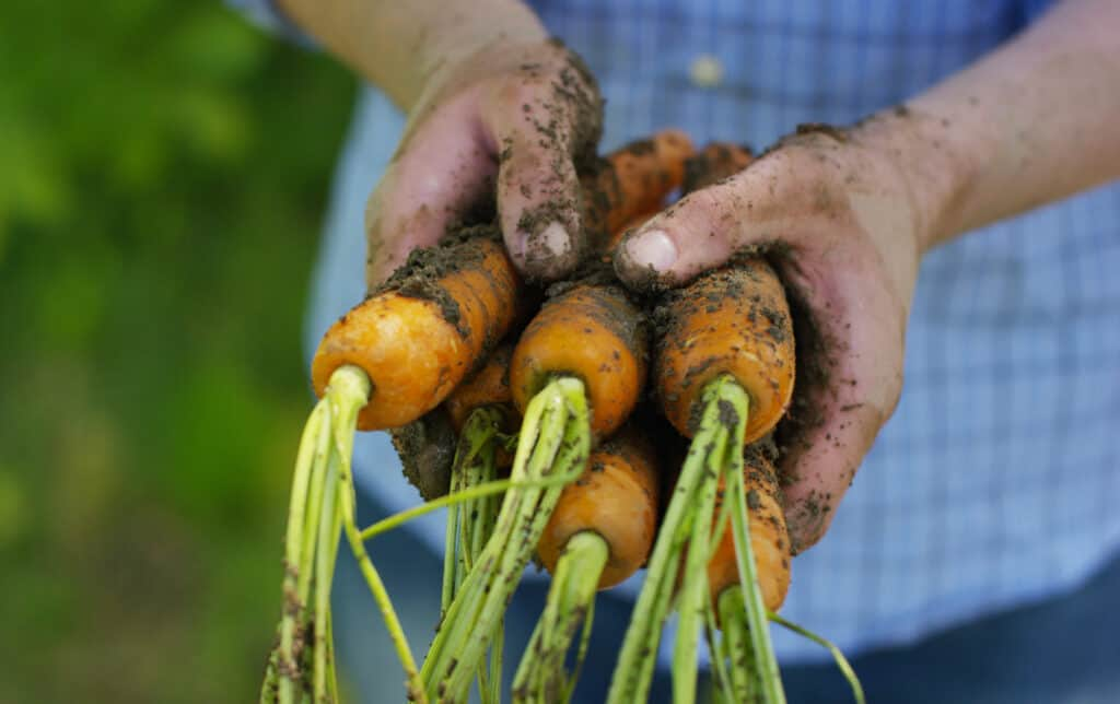 muddy hands holding a bunch of carrots from the garden (1)